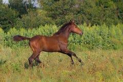 Bay colt run Royalty Free Stock Photos