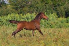 Bay colt run Stock Photo