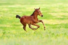 Bay colt run Stock Photos