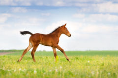 Bay colt run Royalty Free Stock Photo