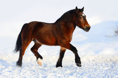 Bay draft horse portrait in motion in winter Stock Photography