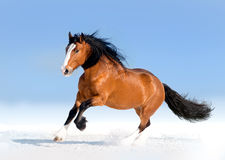Bay draft horse runs free in snow desert Royalty Free Stock Photos