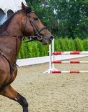 Bay dressage horse, show jumping surfaces with white and red fence on the background. Royalty Free Stock Photo