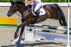 Bay dressage horse and woman in white uniform performing jump at show jumping competition. Stock Images