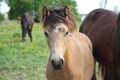 Bay dun foal portrait Stock Photography