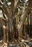 Bay fig tree. Spectacular  bay fig tree Royalty Free Stock Images