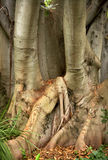 Bay fig tree Royalty Free Stock Images