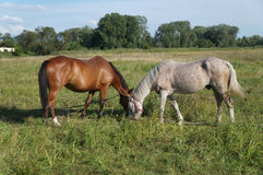 Bay and flea-bitten gray horses grazing in a meadow Stock Images