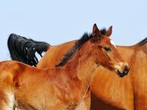 Bay foal Royalty Free Stock Photos
