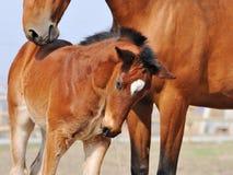 Bay foal Stock Photos
