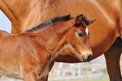 Bay foal Stock Images
