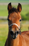Bay foal. The portrait of bay foal Royalty Free Stock Image