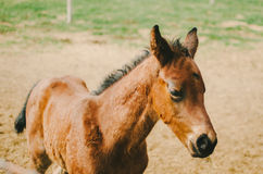 Bay Foal Stock Photos