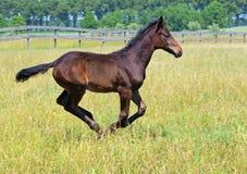 A bay foal galloping Stock Photos