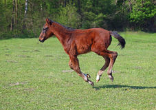A bay foal  gallops. A bay foal gallops on a green meadow Royalty Free Stock Image