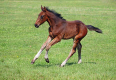 A bay foal gallops on a pasture Stock Photo