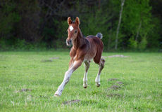 A bay foal gallops on a pasture Royalty Free Stock Image