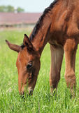 Bay foal on green pasture Stock Photos