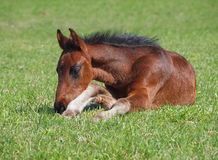 A bay foal has a rest Royalty Free Stock Photo