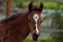 Bay foal head shot. A baby foal facing the camera head on with a fencline and farm in the background stock image