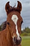 Bay foal head shot. A baby colt facing the camera with a pasture and cloudy grey sky in the background royalty free stock photos