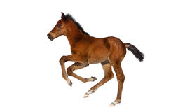 Bay foal isolated royalty free stock images