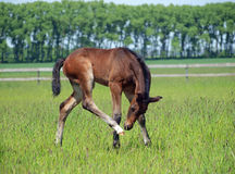 Bay foal on a pasture Stock Photos