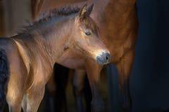 Bay foal portrait stock image