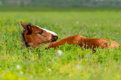 Bay foal sleeping stock photo