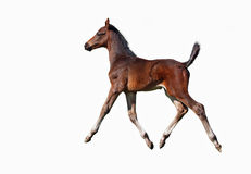 A bay foal trotting Royalty Free Stock Image