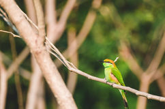 Bay-headed Bee-eater Merops leschenaulti is a species of bird Royalty Free Stock Image