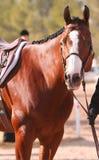 Bay horse. Bay hunter jumper paint horse stock images