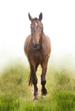 The bay horse. 's going on Royalty Free Stock Photography