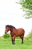 Bay horse Stock Image