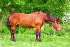 Bay horse Royalty Free Stock Photos