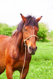 Bay horse Stock Photo