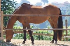 Bay horse stock image