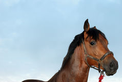 Bay horse. Bayhorse with blue sky background Royalty Free Stock Photos