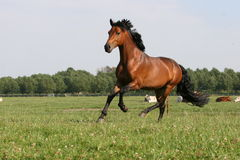 BAY horse Stock Photos