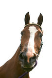 Bay horse. White isolated head of bay horse Stock Images