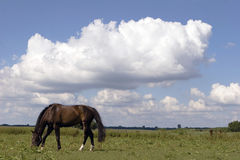 Bay horse. On meadow in sunny summer day plenty commercial space Royalty Free Stock Image