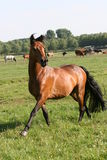 Bay horse. On meadow in sunny summer day plenty commercial space Stock Images