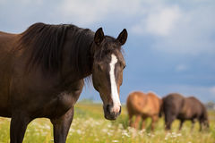 Bay horse. Stay in field Royalty Free Stock Images