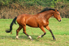The bay horse. Running across the field Royalty Free Stock Images