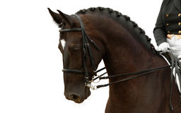 Bay horse. Isolated on white Royalty Free Stock Image