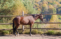 Bay horse against autumn wood Royalty Free Stock Photography