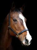 Bay Horse Against Black Background Stock Photos