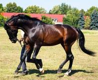 Bay horse Stock Photography
