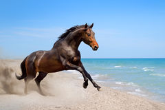 Bay horse along seashore Royalty Free Stock Photography
