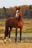Bay horse in autumn. Bay horse portrait in autumn Royalty Free Stock Photo